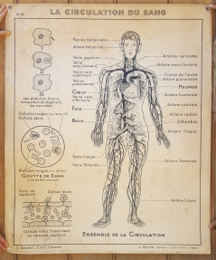Carte scolaire murale anatomique