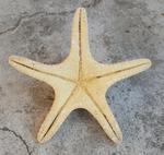 Etoile de mer sèche à cornes ou à bosses